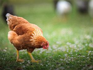 不只除草還會下蛋<br>土雞成有機果園的<br>新寵兒